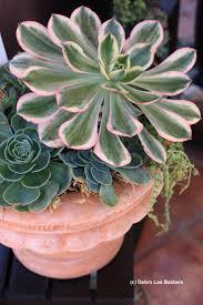 Aeonium 'Sunburst' Photo by Debra Lee Baldwin From her photo CD of  Succulents in