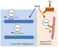 microtubule base motor proteins dynein and kinesin contribute to the asymmetric distribution of vang in the apical plane relocalizing vang vesicles