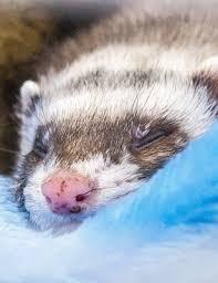 Ferret Information Sheet Weare Animal Hospital Veterinarian In