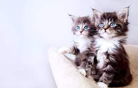 Cute Baby Kitten Wallpaper Desktop ...