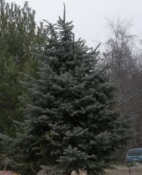 And for the most part these trees are available for the same price as our  usual. colorado spruce | Wholesale Colorado Blue Spruce Trees