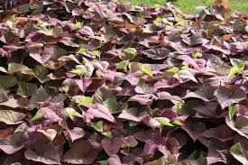 Light Green Sweet Potato Vine Sweet Potato Vine Adds Unique Colors Mississippi State