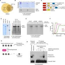 Ledgf And Hdgf2 Relieve The Nucleosome Induced Barrier To