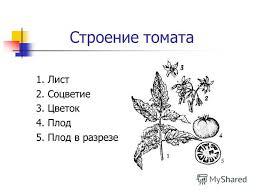 Презентация на тему Специальная коррекционная  4 Строение томата 1 Лист 2 Соцветие 3 Цветок 4 Плод 5 Плод в разрезе