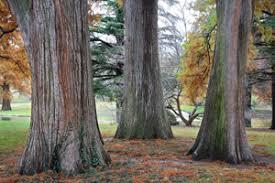 Image result for benefits of cedarwood virginiana essential oil