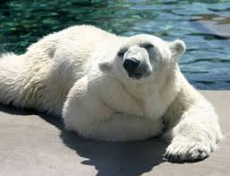 the only people who are allowed to hunt polar bears in the united states are alaskan natives and they are restricted to a small amount of bears per year