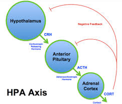 Hpa Axis Hypothalamic Pituitary Adrenal Axis Wikipedia