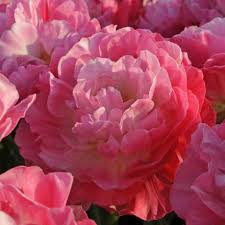 Картинки по запросу viestardu tulpes