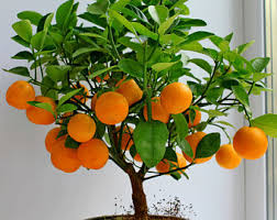 Orange Tree  Free Png  Images And Psd Downloads  PngtreeSmall Orange Fruit On Tree