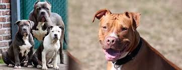 Pitbull Dog Years Chart Pit Bull Dog Breed And Everything You Need To Know About