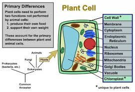 plant cells vs animal cells diagrams owlcation plant cells vs animal cells diagrams