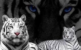 black tiger with blue eyes wallpaper.  Tiger Widescreen To Black Tiger With Blue Eyes Wallpaper T