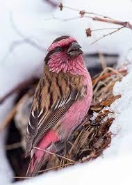 Rose Finch   Beautiful birds, Pretty birds, Pet birds