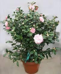 """Résultat de recherche d'images pour """"camélia rose"""""""