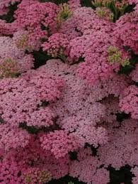 77 best Yarrow Yarrow Yarrow images on Pinterest | Drought resistant ...