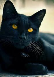 black cats with gold eyes.  Gold Golden Eyed Black Cat Cat Feline Black Cat Beautiful And Black Cats With Gold Eyes Pinterest