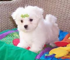 Teacup Maltese Weight Chart Tea Cup Maltese Puppy Maltese Puppies For Sale Maltese