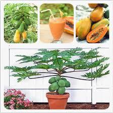 100%true <b>PapayaCarica Papaya Seeds</b>. Dwarf Organic Sweet ...