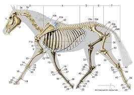 Equine Skeletal Anatomy Chart Horse Anatomy Horse Bones
