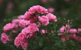 raray-blog: 1080p Pink Roses Wallpaper Hd