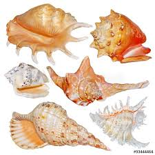 Seashell Collection Isolated On White Background Buy This