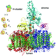 Rewiring photosynthesis: a photosystem I-hydrogenase chimera that ...