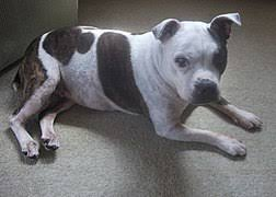 Staffy Colours Chart Staffordshire Bull Terrier Wikipedia