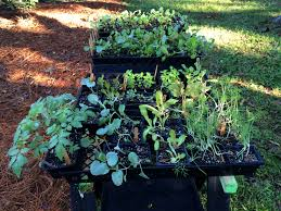 Our Kitchen Garden Starting Our Winter Kitchen Garden Wholylocal