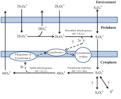 4 Oxidation Of Reduced Inorganic Sulfur Compounds By The