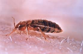 Common Bed Bug MSU Plant and Pest Diagnostic Services