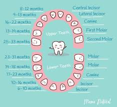 Baby Teeth Chart Baby Teeth Chart What Order Do They Come In Mama Natural 1