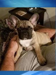 stolen AKC French Bulldog