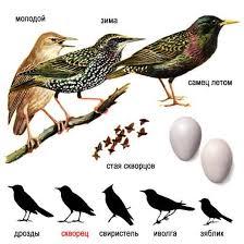 Обыкновенный скворец sturnus vulgaris описание и рисунки Обыкновенный скворец sturnus vulgaris