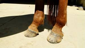 Equine Anatomy The Hoof The Horse Owners Resource