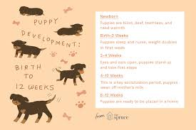 Puppy Teething Age Chart Puppy Development From 1 To 8 Weeks