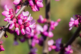 12 diffe types of redbud trees