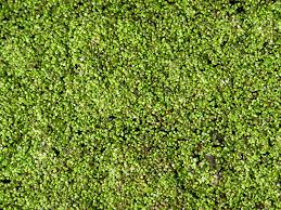 a m of tiny green leaves covering a stretch of water