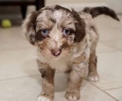 Aussiedoodle Size Chart Aussiedoodle Puppies Are All We Do We Breed The Smartest
