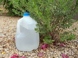 how about making your own drip watering container this is the perfect way to slow water your plants and recycles your old milk jugs