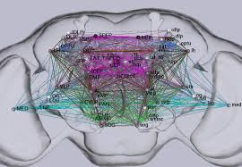 flycircuit please click at least one neuropil abbreviations to wiring diagram