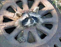 Raccoons In Vending Machine Best Nothing To Do With Arbroath Workers Rescue Baby Raccoon From Sewer
