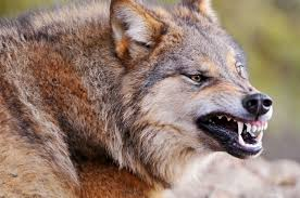 Wolves: Another example of government tyranny