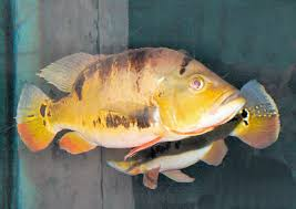 Types Of Bass Fish Chart Peacock Cichlid Cichla Ocellaris Butterfly Peacock Bass
