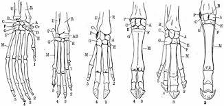 These landmarks are the anterior superior iliac spine. He Diagram Shows The Leg Bones Of A Left Gt Right Orangutan Dog Pig Cow Tapir And Horse Brainly Com