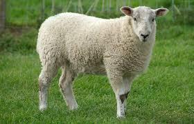 Image result for عکس گوسفند