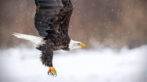 Bald Eagle Age Chart Bald Eagle Audubon Field Guide