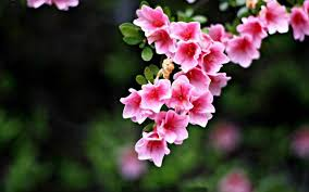 flowers hd wallpapers flowers wallpapers pictures free
