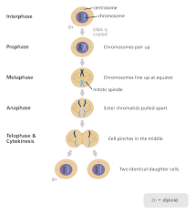 What Is Mitosis Mitosis Gcse Science Daughter Cells
