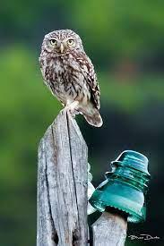El mochuelo y el viejo poste de luz | Bird, Birds, Animals
