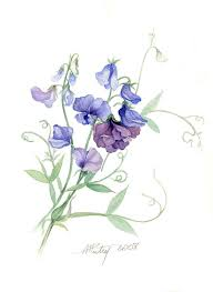 lovely watercolour art from anne marie patry belluteau botanical painting of sweetpeas